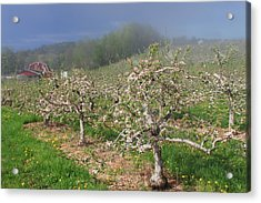 Apple Orchard In Spring Acrylic Print by John Burk