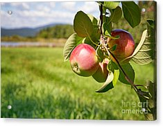 Apple Orchard Acrylic Print by Jane Rix