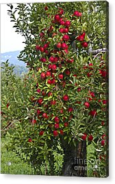 Apple Tree Acrylic Print by Anthony Sacco
