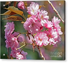 Apple Tree Blossoms Acrylic Print by Kenny Bosak