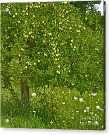 Apples In The Wild Acrylic Print