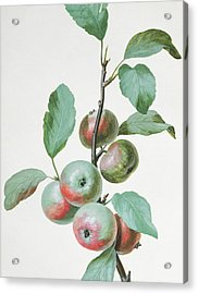 Apples Acrylic Print by Pierre Joseph Redoute