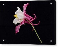 Aqulegia Hybrid 01 Acrylic Print
