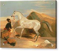 Arab Stallion Acrylic Print