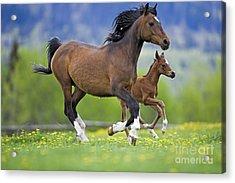Arabian Bay Mare And Foal Acrylic Print