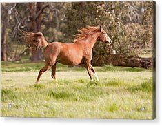 Arabian Horse Running Free Acrylic Print by Michelle Wrighton