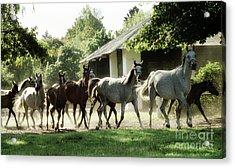 Arabian Horses Acrylic Print by Angel Ciesniarska