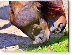 Arabian Horses Acrylic Print