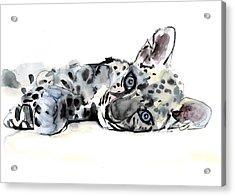 Arabian Leopard Cub Acrylic Print by Mark Adlington