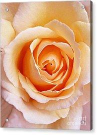 Aranciata Rose Blossom Acrylic Print