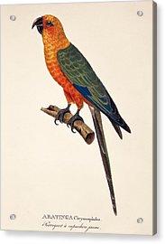 Aratinga Chrysocephalus  Acrylic Print