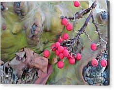 Arbutus Berries Acrylic Print