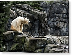 Arctic Bear Acrylic Print