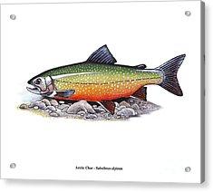 Arctic Char Male Acrylic Print