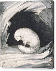 Arctic Fox, From Narrative Of A Second Acrylic Print