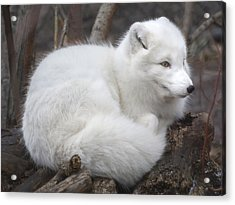Arctic Fox Acrylic Print by Jim Hughes