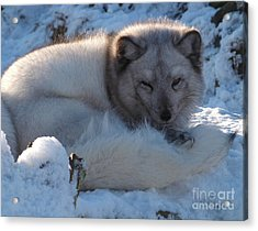 Arctic Fox - Winter Coat Acrylic Print