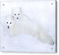 Arctic Foxes In The Snow Acrylic Print