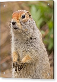 Arctic Ground Squirrel Close-up Acrylic Print