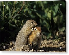 Arctic Ground Squirrel, Denali National Acrylic Print by Gerry Reynolds