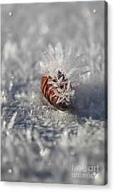 Arctic Pine Cone Porcupine Acrylic Print by Brian Boyle
