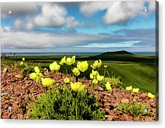 Arctic Poppy  Papaver Radicatum  Grows Acrylic Print