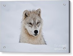 Arctic Pup In Snow Acrylic Print by Wolves Only