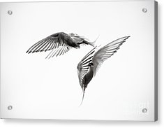Arctic Tern - Sterna Paradisaea - Pas De Deux - Black And White Acrylic Print