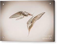 Arctic Tern - Sterna Paradisaea - Pas De Deux -hdr Acrylic Print