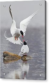 Arctic Terns, Courtship Acrylic Print by Ken Archer