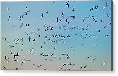 Arctic Terns Flying, Reykjavik, Iceland Acrylic Print by Panoramic Images