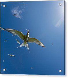 Arctic Terns Sterna Paradisaea, Flatey Acrylic Print by Panoramic Images