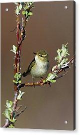 Arctic Warbler Acrylic Print