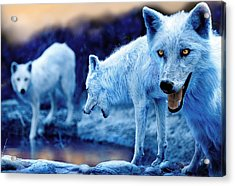 Arctic White Wolves Acrylic Print