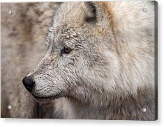 Arctic Wolf Acrylic Print by Eunice Gibb