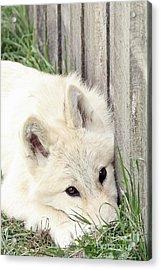 Arctic Wolf Acrylic Print by Kathy Eastmond
