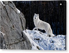 Acrylic Print featuring the photograph Arctic Wolf On Rock Cliff by Wolves Only