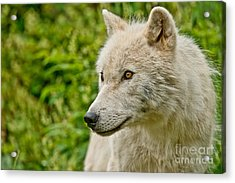 Arctic Wolf Pictures 241 Acrylic Print