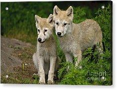 Arctic Wolf Puppies Acrylic Print
