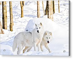 Arctic Wolves Acrylic Print by Cheryl Baxter