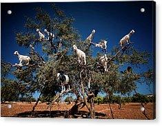 Argan Goats Acrylic Print