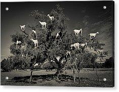 Argan Loving Goats Acrylic Print by Dario Puebla