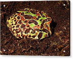 Argentine Wide-mouthed Frog Acrylic Print