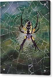 Argiope Web Acrylic Print by Christopher Reid