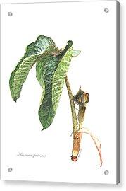 Arisaema Speciosum Acrylic Print