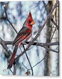 Arizona Cardinal Acrylic Print