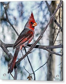 Arizona Cardinal Acrylic Print by Elaine Malott