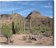 Arizona Desert Organ Pipe Cactus   Acrylic Print