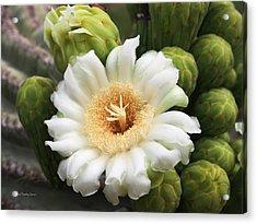 Arizona State Flower The Saguaro Blossom Acrylic Print