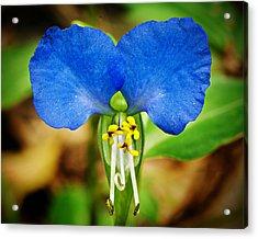 Arkansas Asiatic Dayflower Acrylic Print by Randy Forrester
